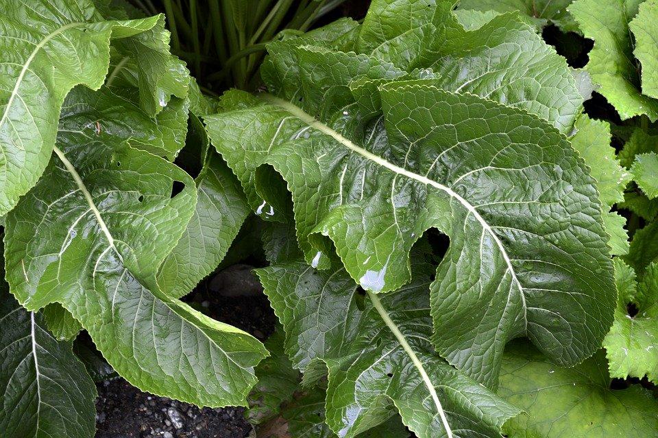 liście chrzanu pospolitego